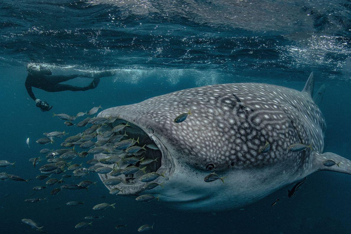 Tubarão-baleia, Austrália