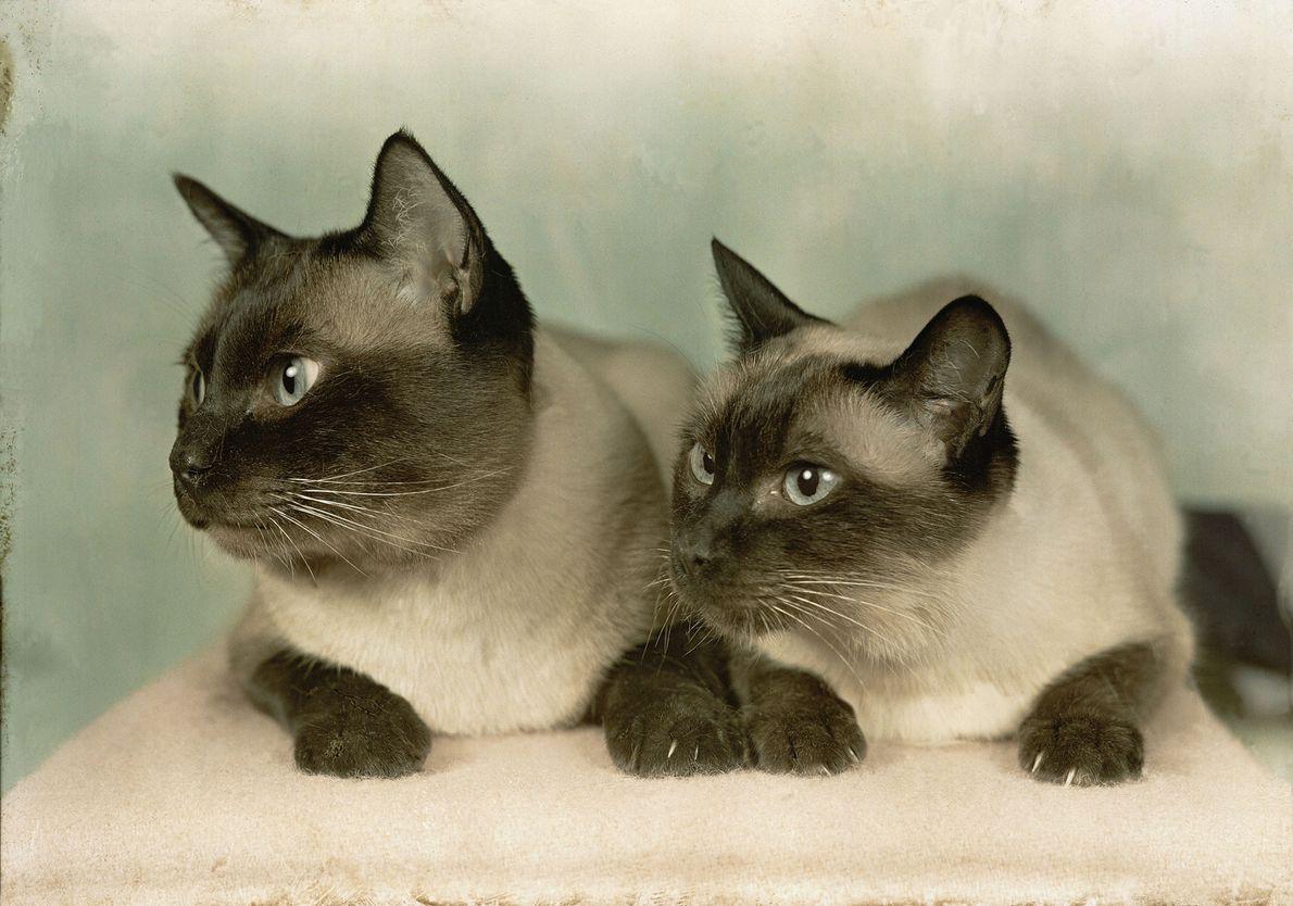 Dois gatos siameses.