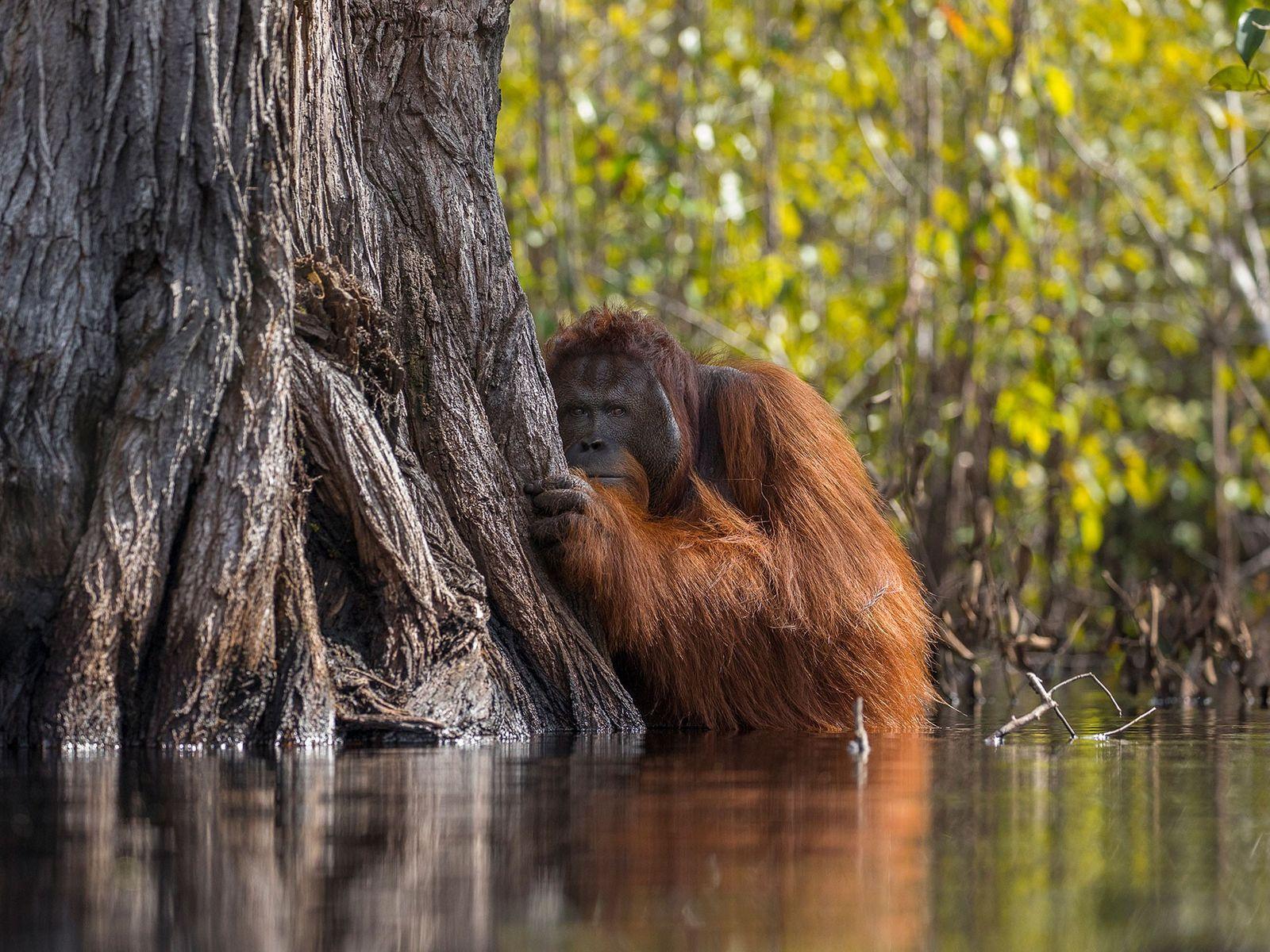 Orangotango Ameaçado na Indonésia