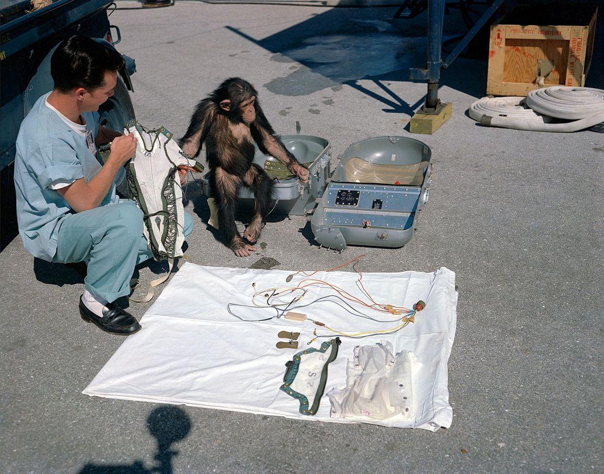 Ham – o primeiro chimpanzé no espaço – observa o seu equipamento antes do lançamento em ...