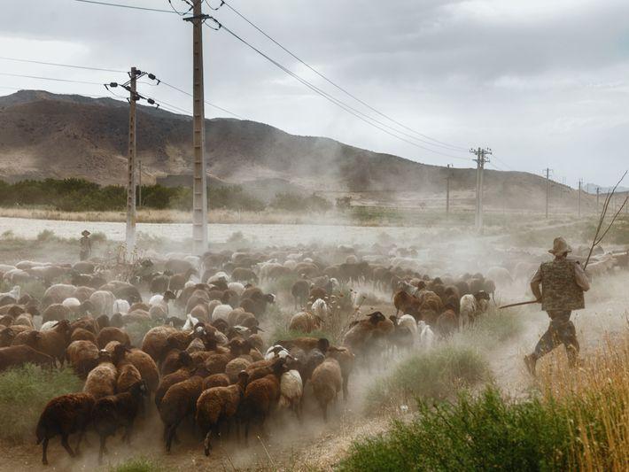 Rebanho de ovelhas perto do Lago Urmia