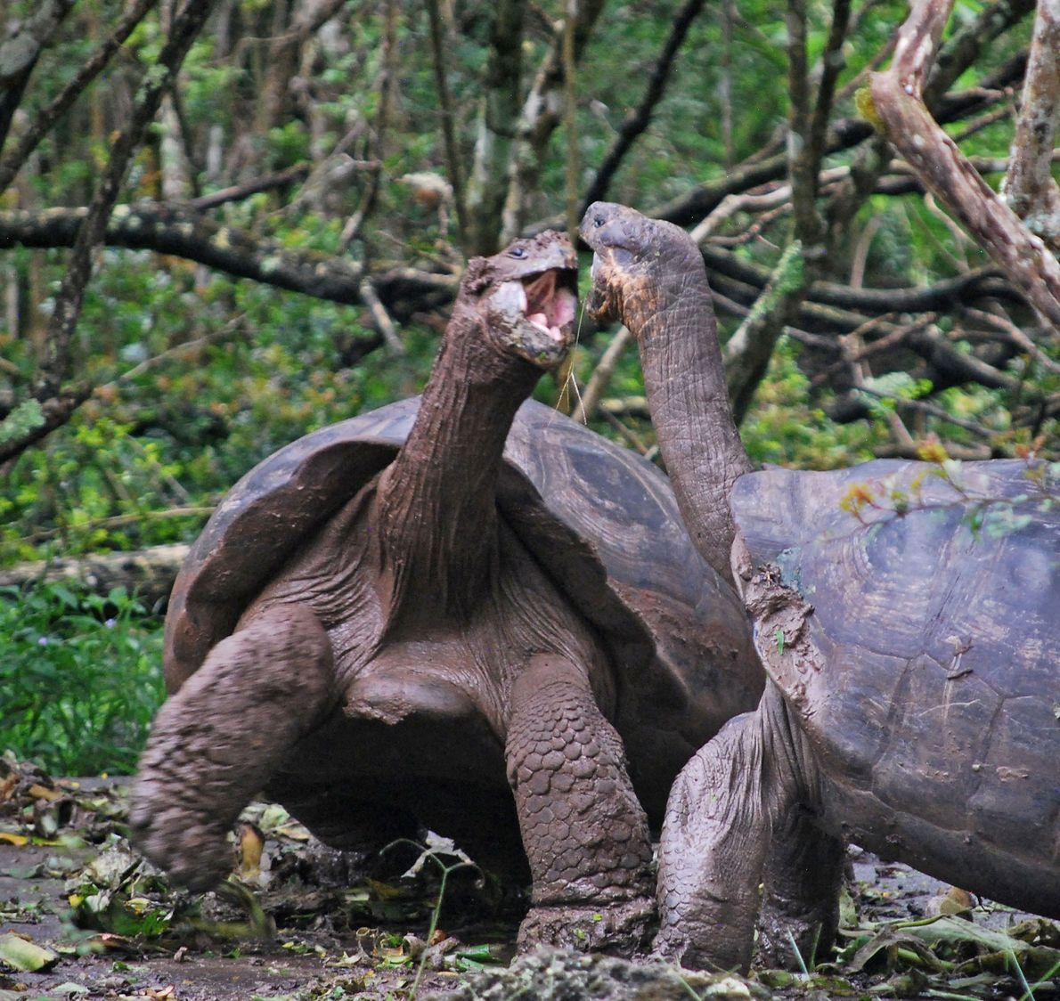 Duas tartarugas-das-galápagos abocanham-se nas ilhas Galápagos.