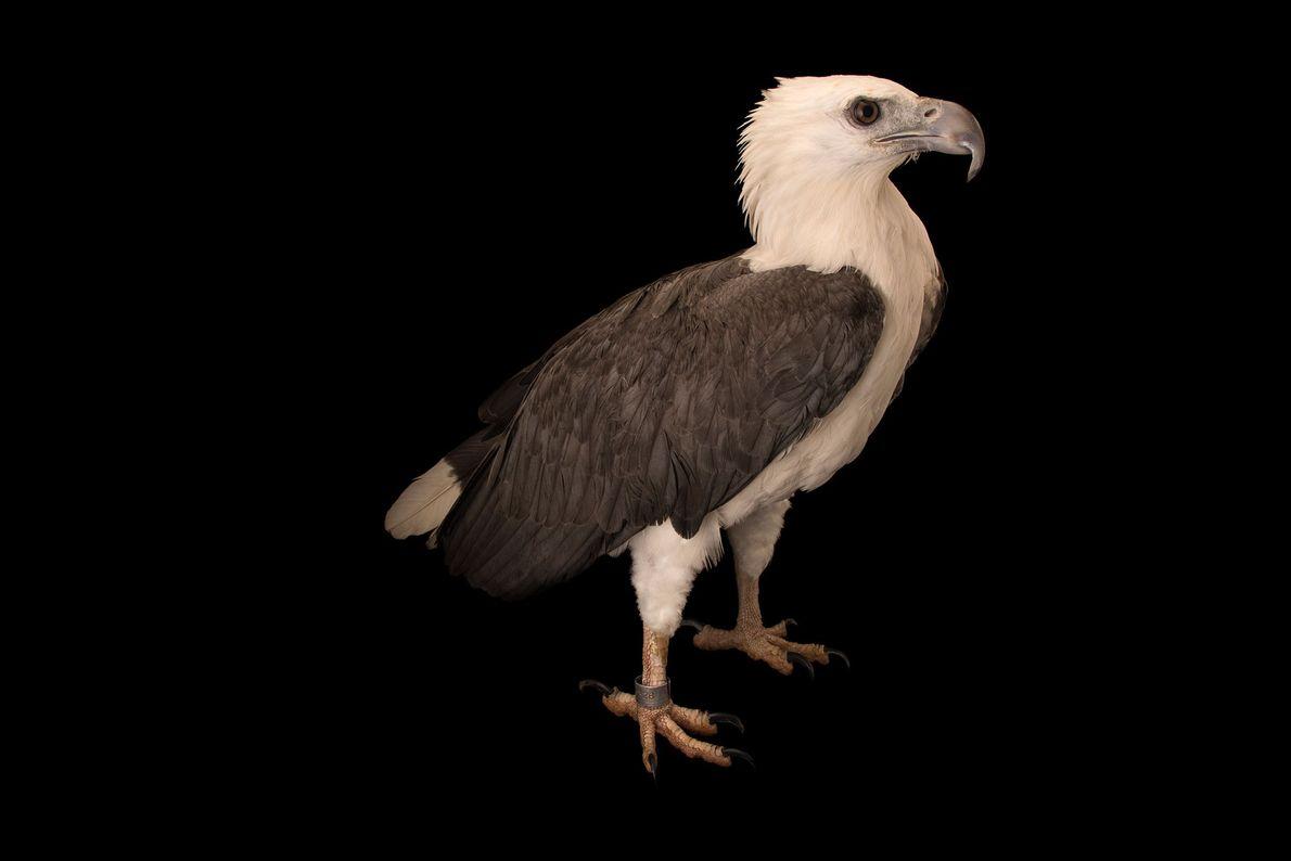 Espécies de águias - Uma águia-de-barriga-branca