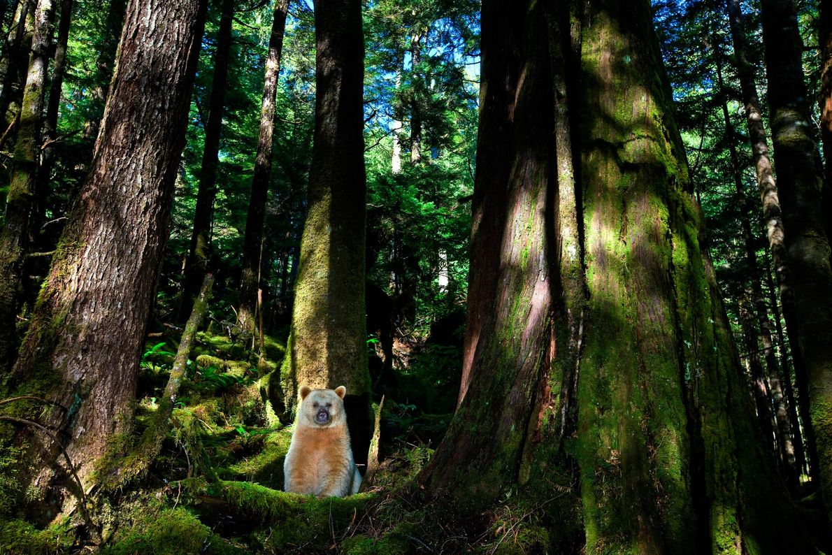 urso de Kermode