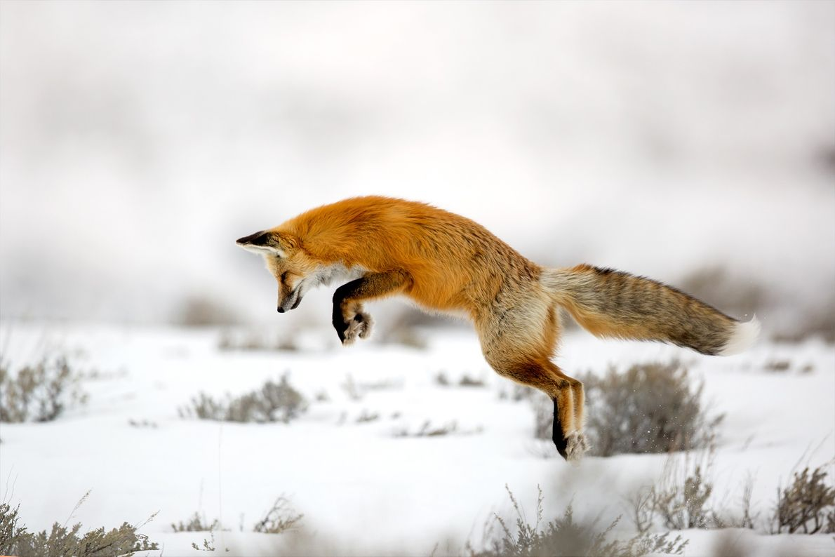 raposa vermelha caça ratos sob a neve Yellowstone