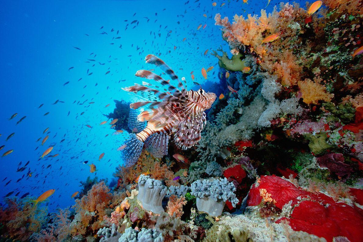 Um peixe-leão a nadar sobre um recife no Mar Vermelho. O peixe-leão é venenoso e é ...