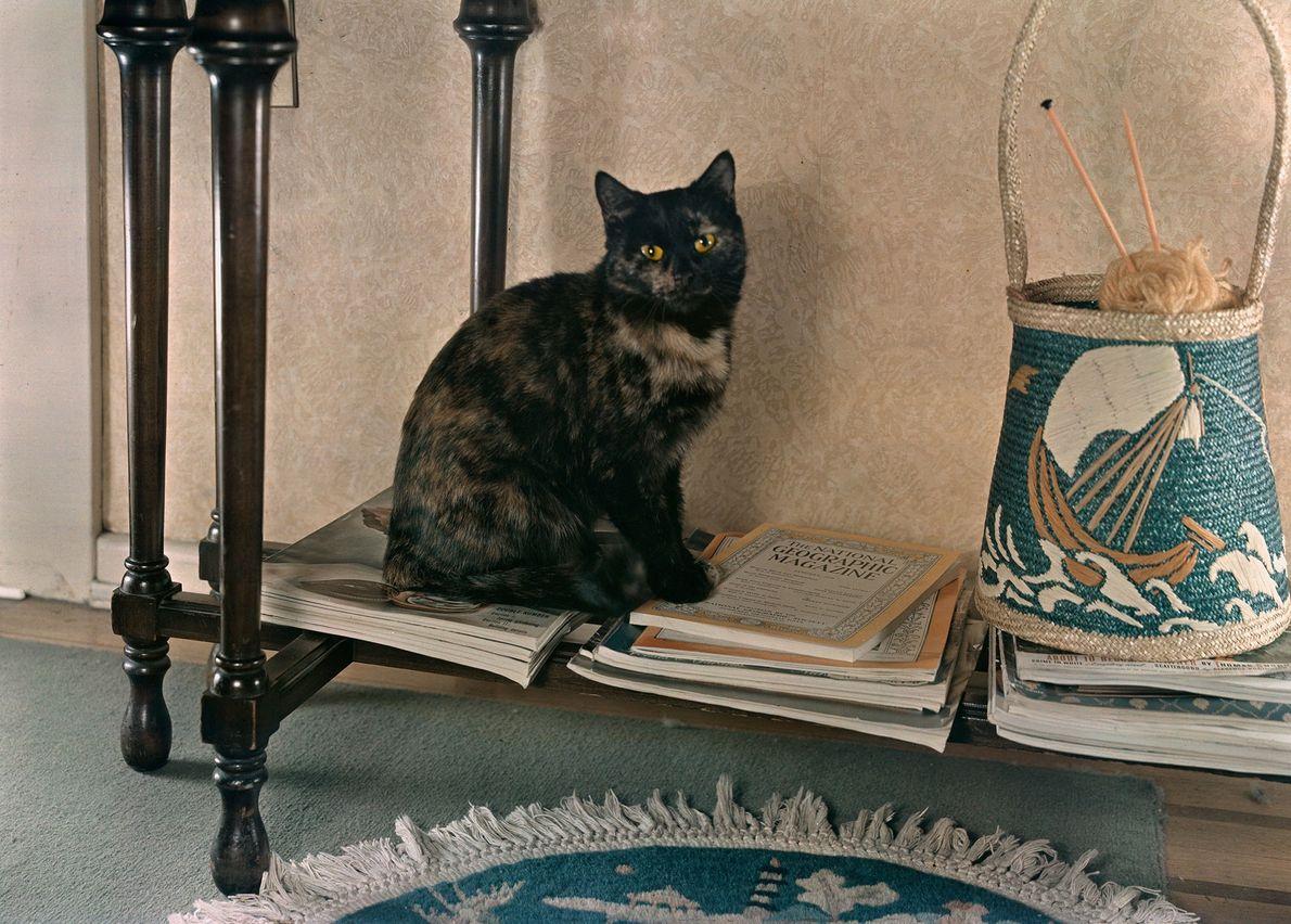 Um gato doméstico com pelagem curta e mesclada.