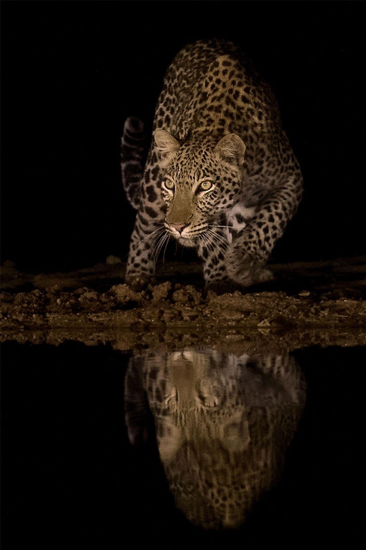 Leopardo. Mkuze, KwaZulu-Natal, África do Sul