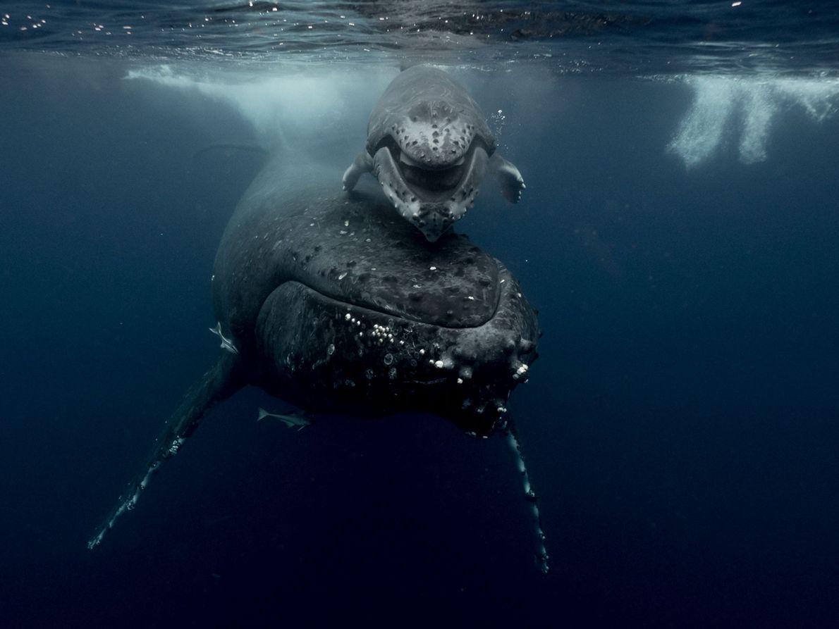 Uma baleia-corcunda e a sua cria nadam ao longo das águas de Tonga.