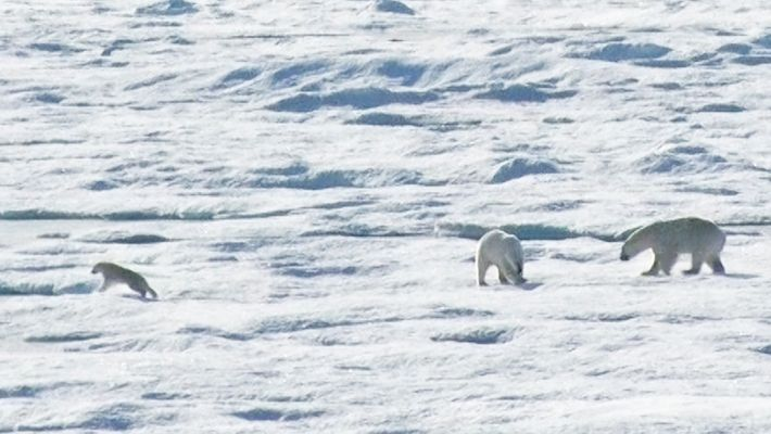 EXCLUSIVO: Urso Polar Macho Persegue e Come Cria