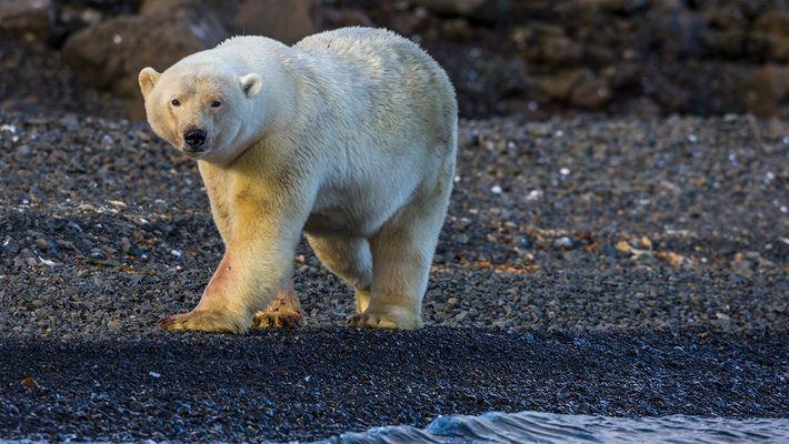 Veja: Ursos Polares a Assustarem Fotógrafos do Nat Geo