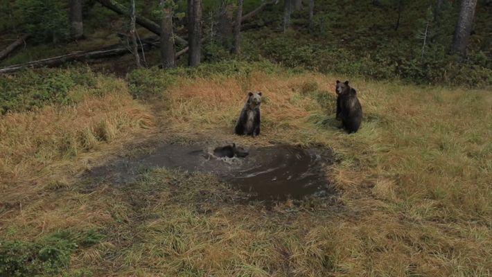 EXCLUSIVO: 'Banheira de Ursos' filmada por Câmera em Yellowstone