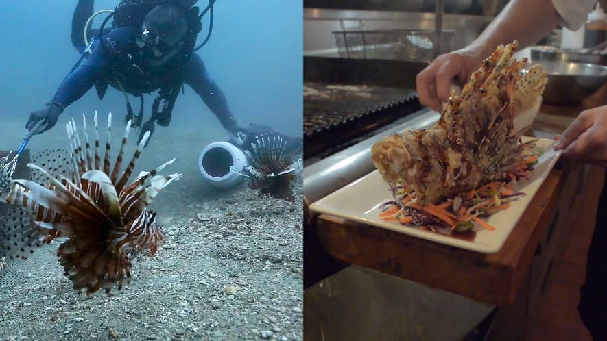 Como Comer Peixes-leão Venenosos Ajuda o Ambiente