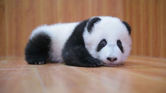 Cuidar de Pandas Bebés: É Complicado.