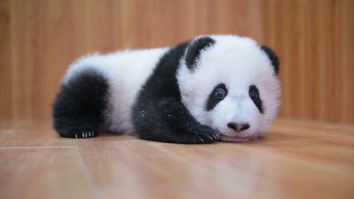 Criar Pequenos Pandas: É Complicado