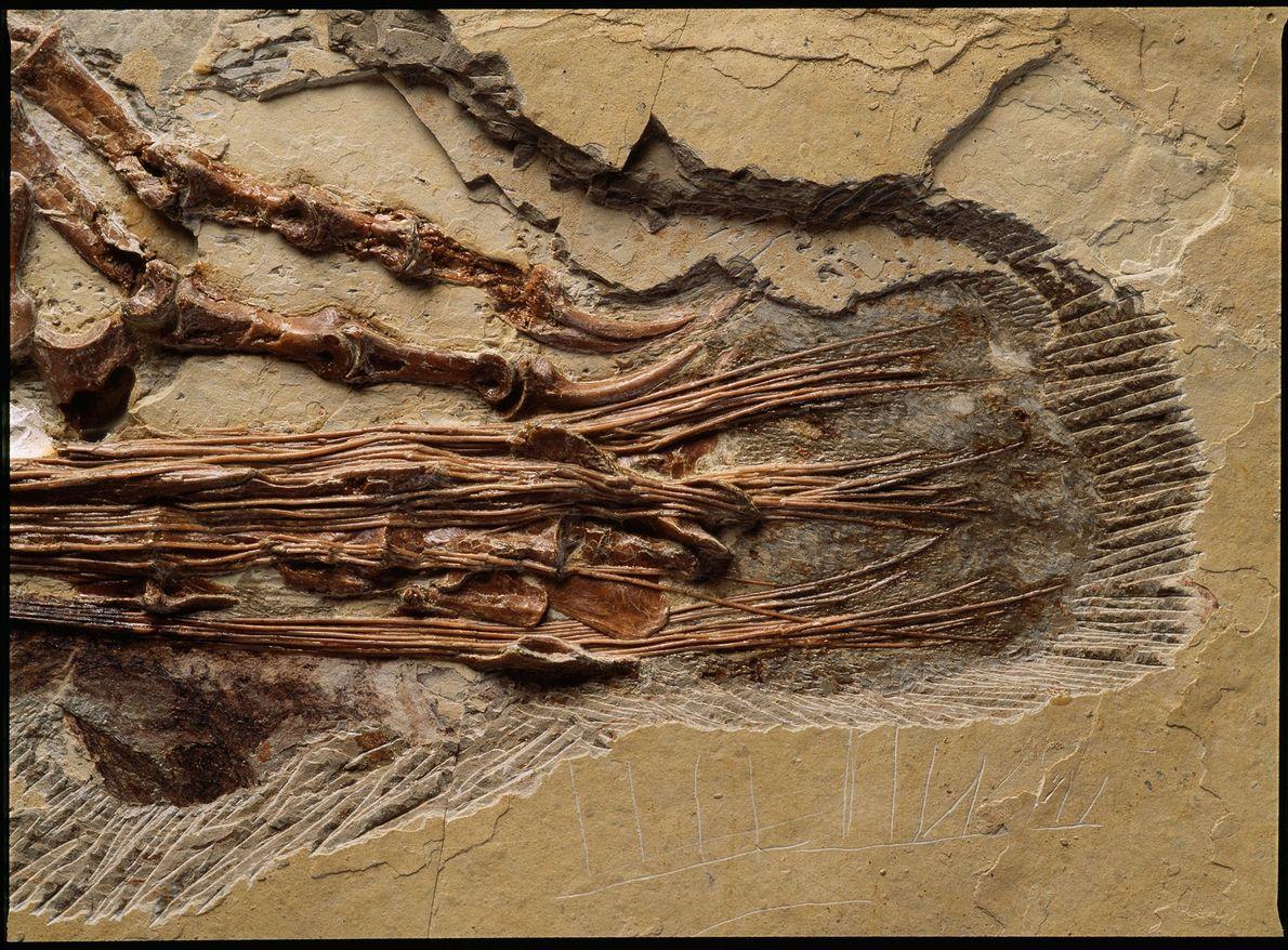 região da cauda do dinossauro chinês, do início do período Cretáceo, Sinornithosaurus millenii.