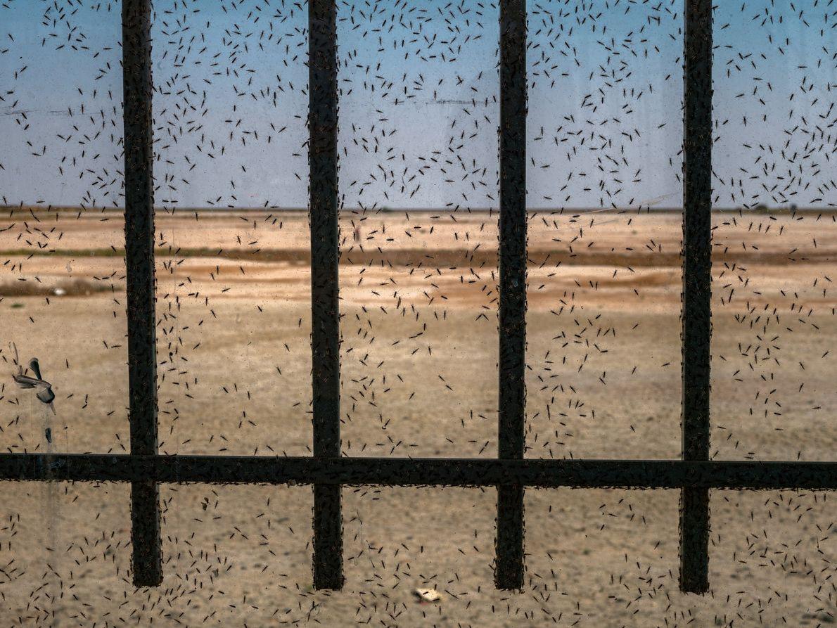 Milhares de mosquitos pousam na moldura de uma janela