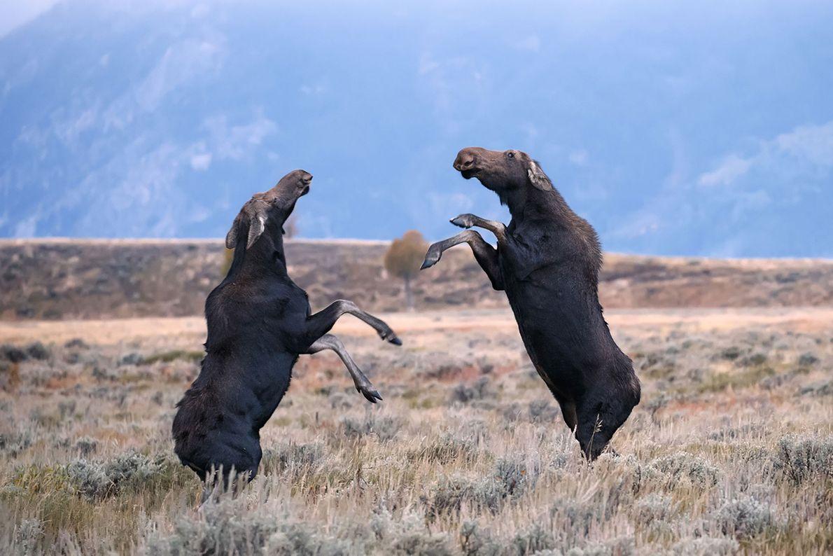 Alces enfrentam-se no Parque Nacional de Grand Teton, no Wyoming.
