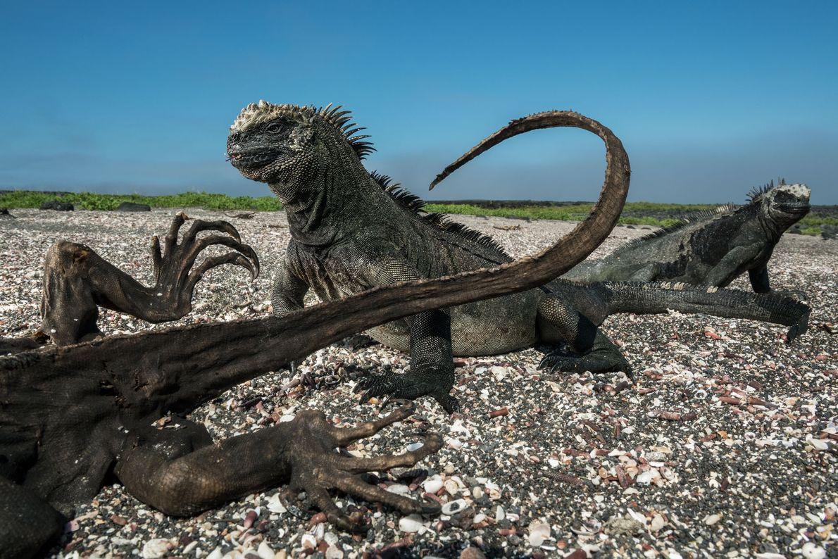 Iguanas-marinhas na Ilha Fernandina