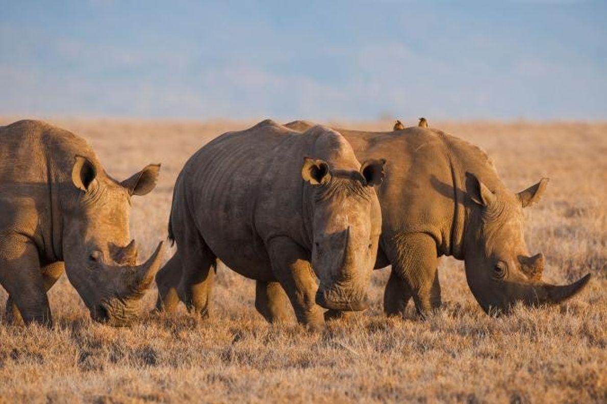 Rinocerontes-brancos.
