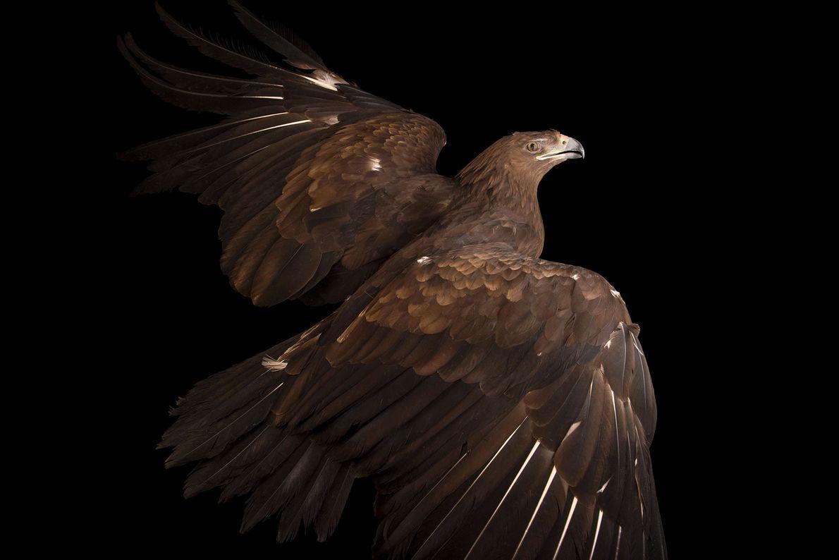 Espécies de águias - Uma águia-gritadeira