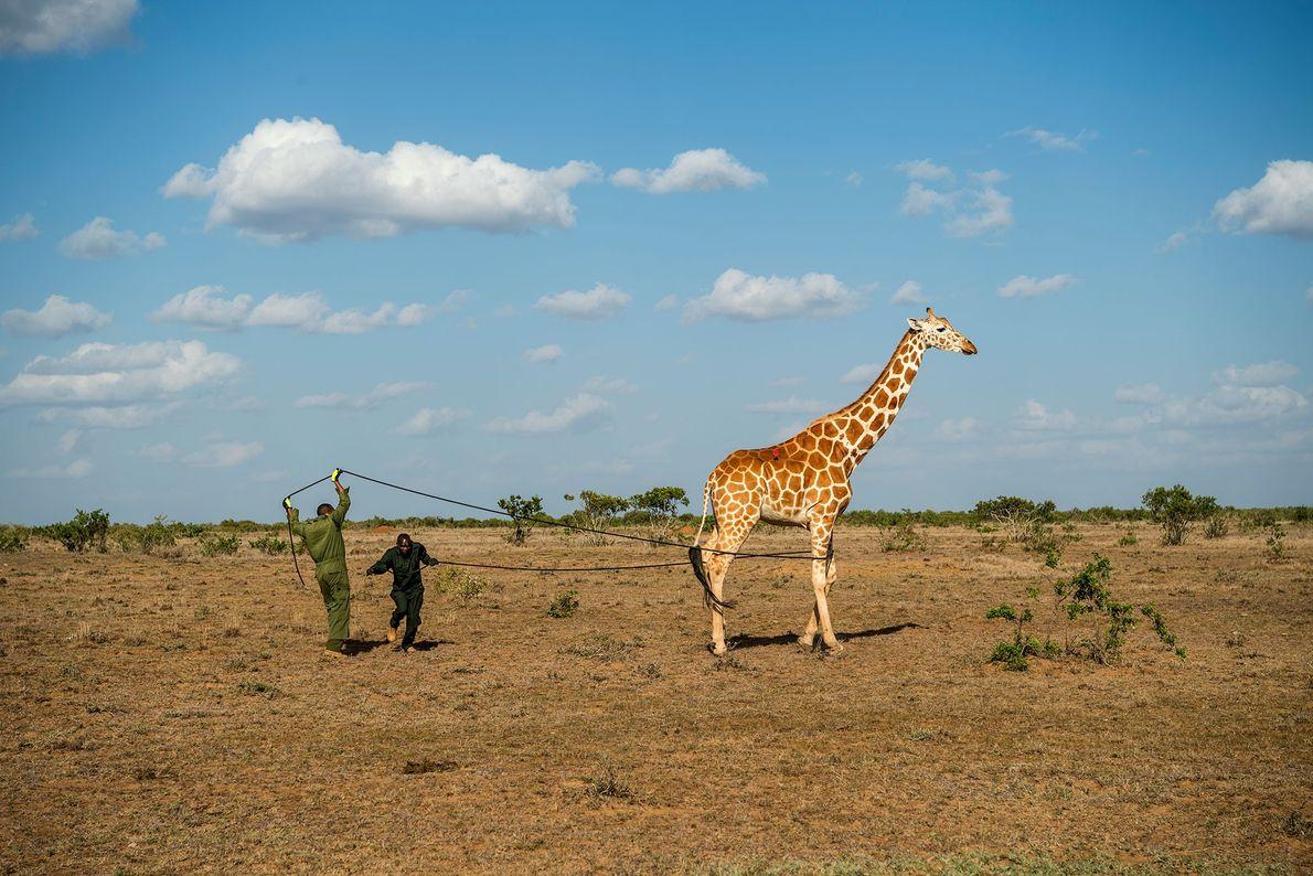 Os cientistas capturaram um total de 11 girafas.