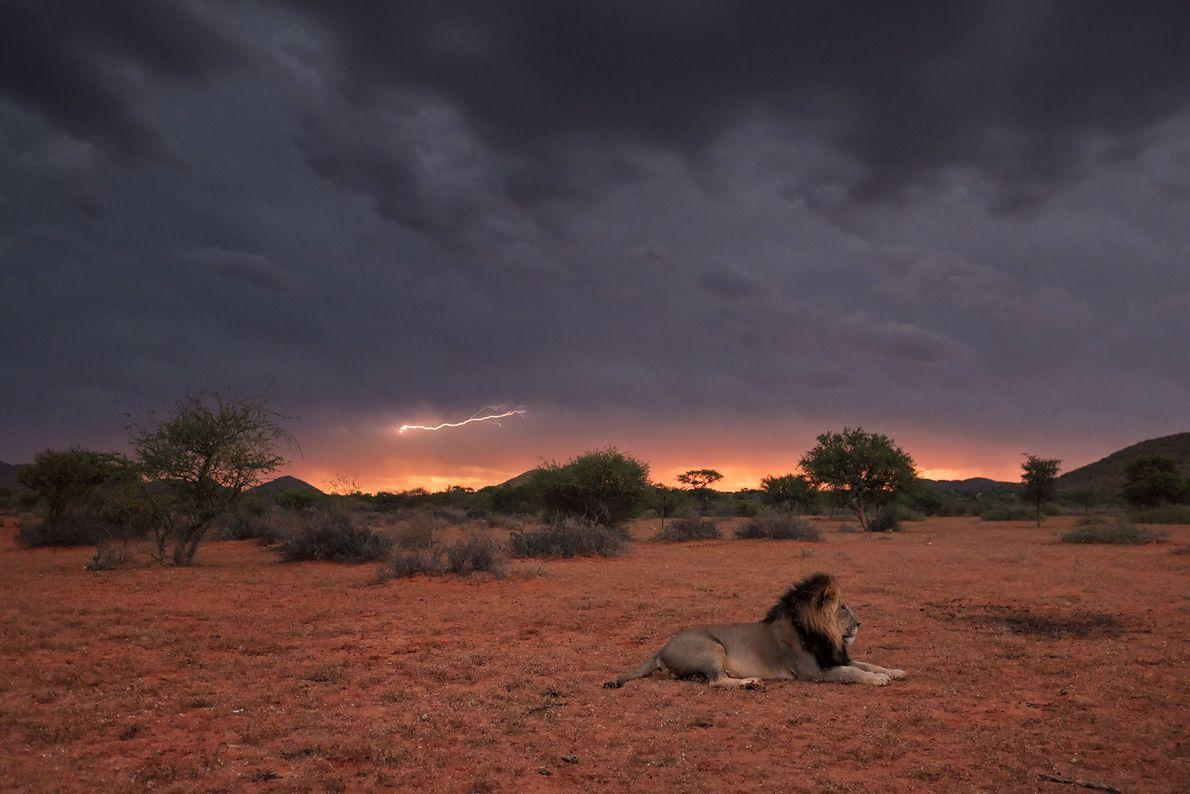 Um leão alfa repousa ao pôr do sol no deserto do Kalahari, que recebe cerca de ...