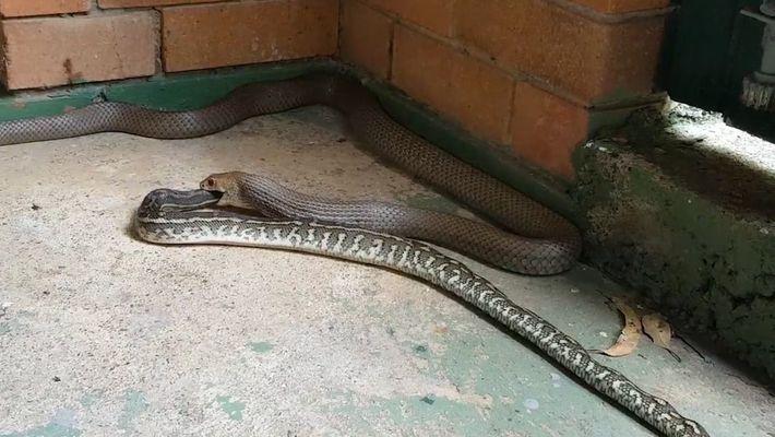 Veja Como Uma Serpente Incrivelmente Mortífera Engole Outra Serpente Inteira