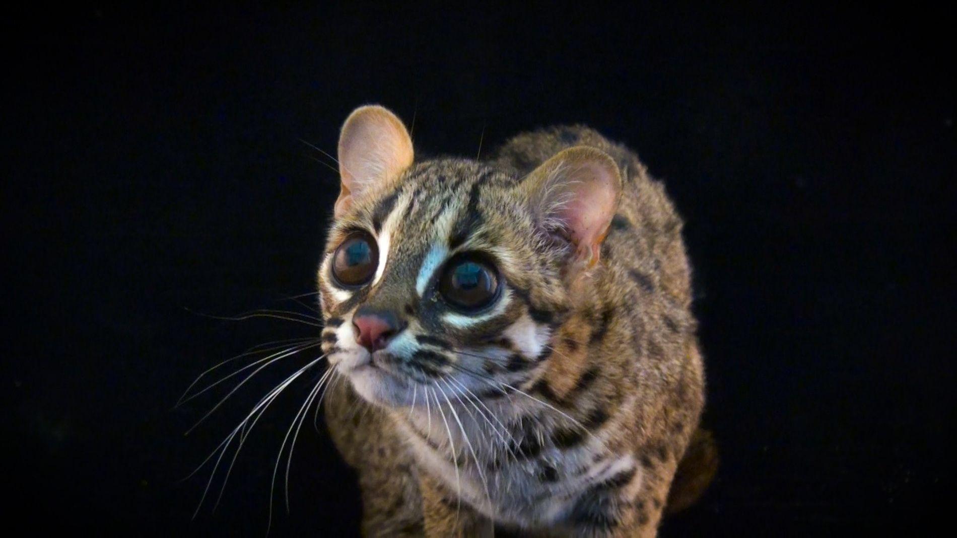 Estes Pequenos Gatos Selvagens São Adoravelmente Ferozes