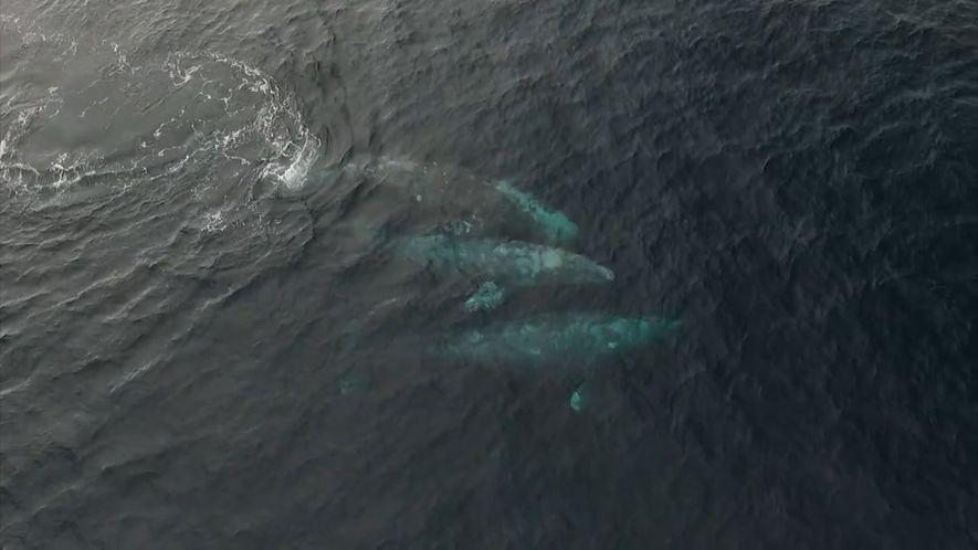 Estas Três Baleias Estão a Meio de um Complexo Ritual de Acasalamento.