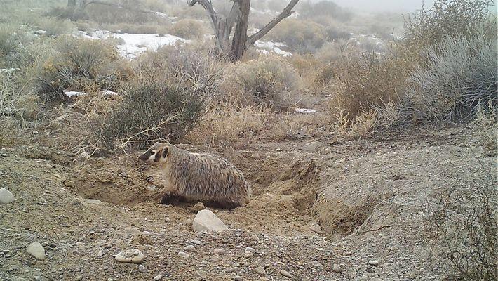 Um Texugo a Enterrar um Bezerro