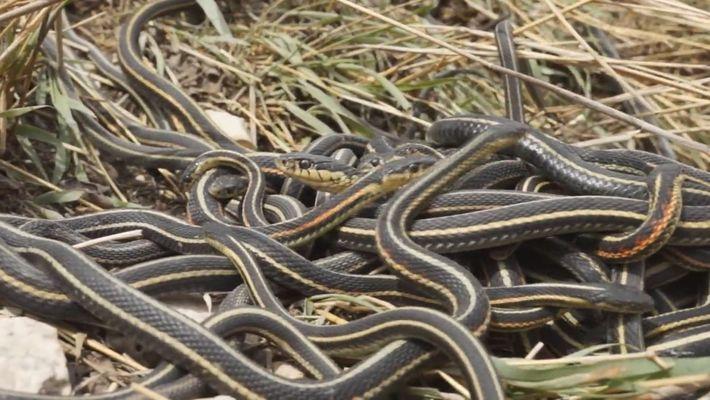As Orgias Encurtam a Vida das Cobras Macho