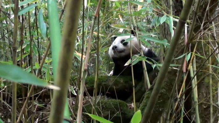 Este panda nascido em cativeiro fez um avanço importante