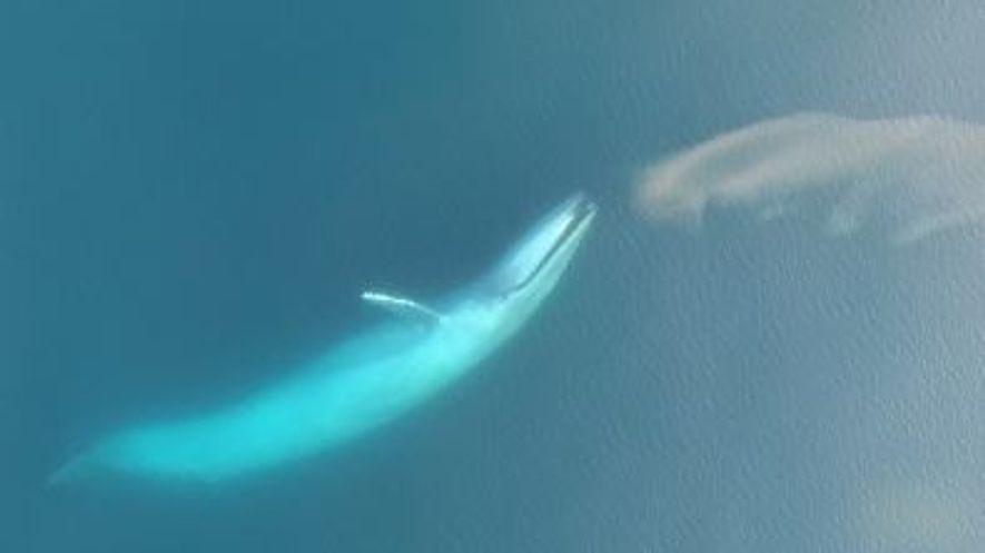 Filmagens com drone de baleia azul a alimentar-se