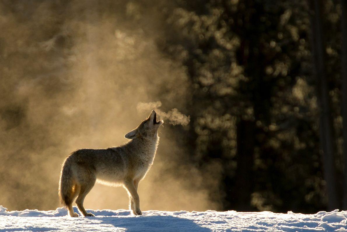Fotografia de um coiote a uivar no Parque Nacional de Yellowstone