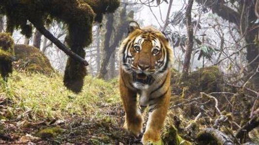 Veja: Filmagens Raras de Tigres Selvagens no Butão