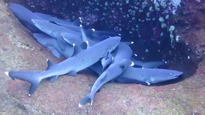 Filmagem de Grupo de Tubarões 'a Dormir'