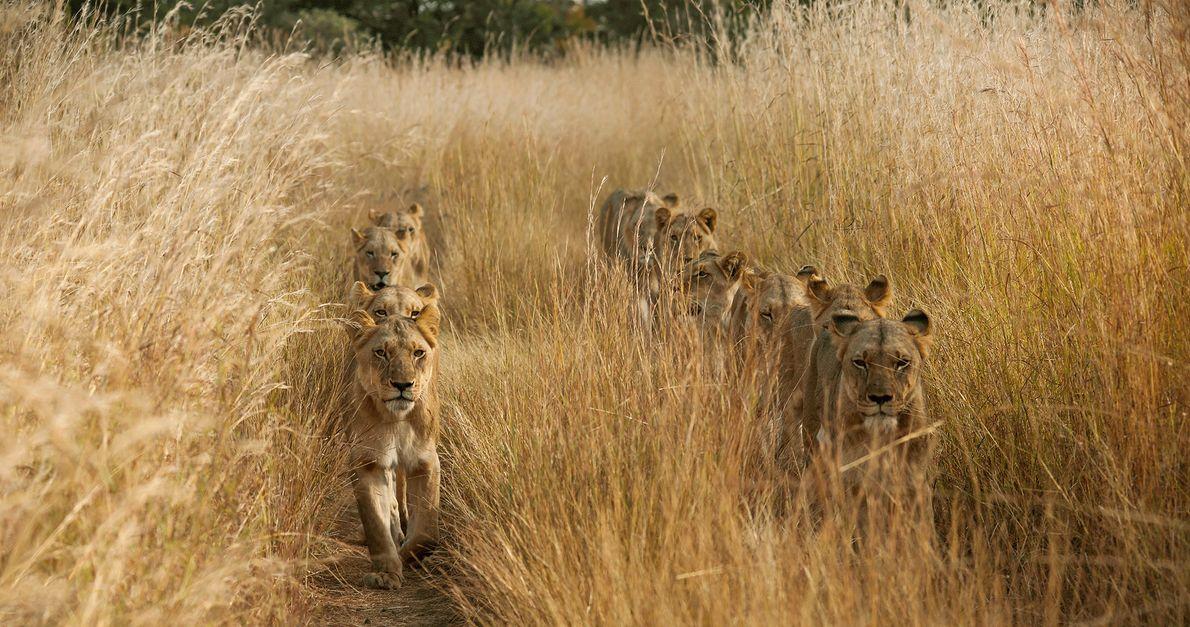Fotografia de leões em duas filas em palha alta na Zâmbia