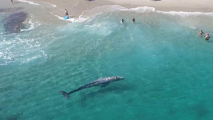 Vídeo aéreo incrível: jovem baleia-cinzenta nada com banhistas
