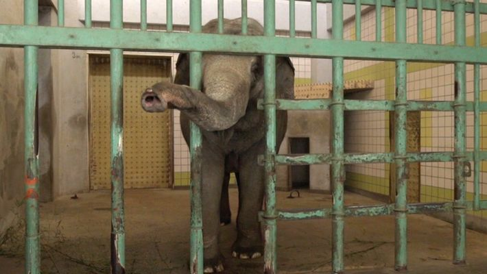 Veja: Elefentes a viver em isolamento em mais de uma dúzia de zoos no Japão.