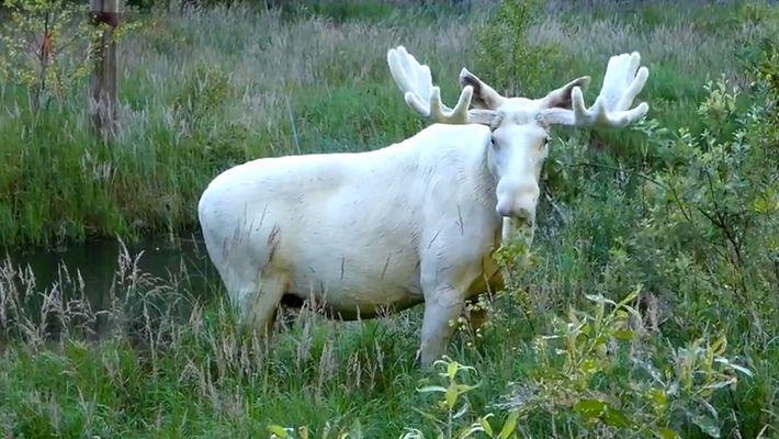 Foi Avistado um Alce Branco Muito Raro na Suécia