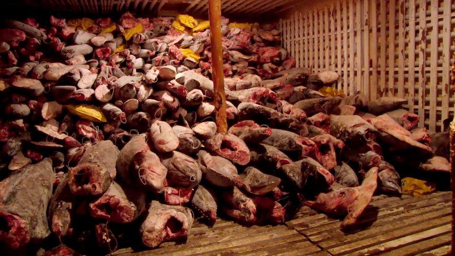 Veja: milhares de tubarões encontrados em barco de grande pesca ilegal