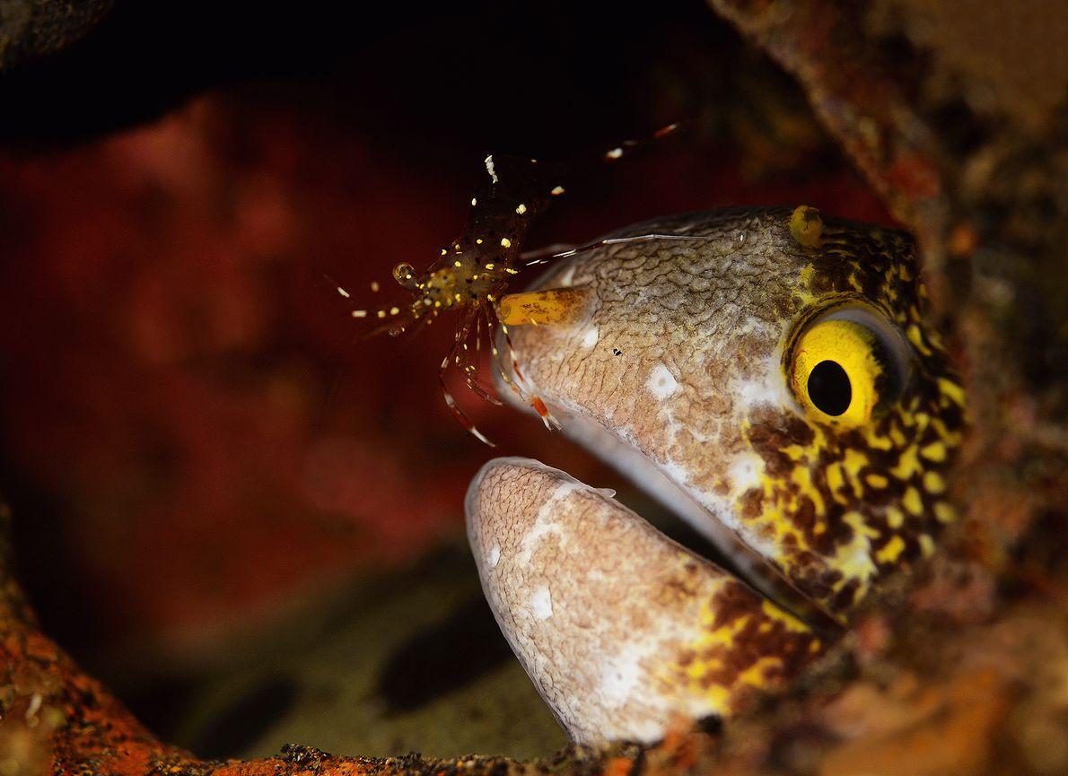 Fotografia de um camarão-limpador-do-Pacífico numa moreia