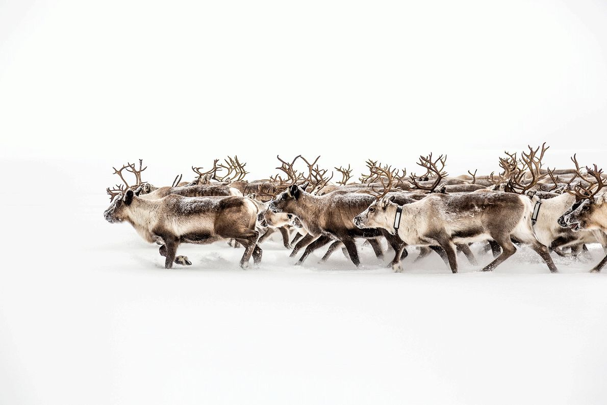 Fotografia de uma manada de renas a correr pela neve na Suécia