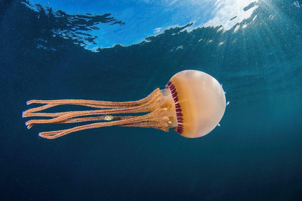 Fotografia de um peixe a nadar entre os tentáculos de uma medusa