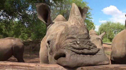 Podem Salvar-se Rinocerontes Vendendo os seus Cornos?