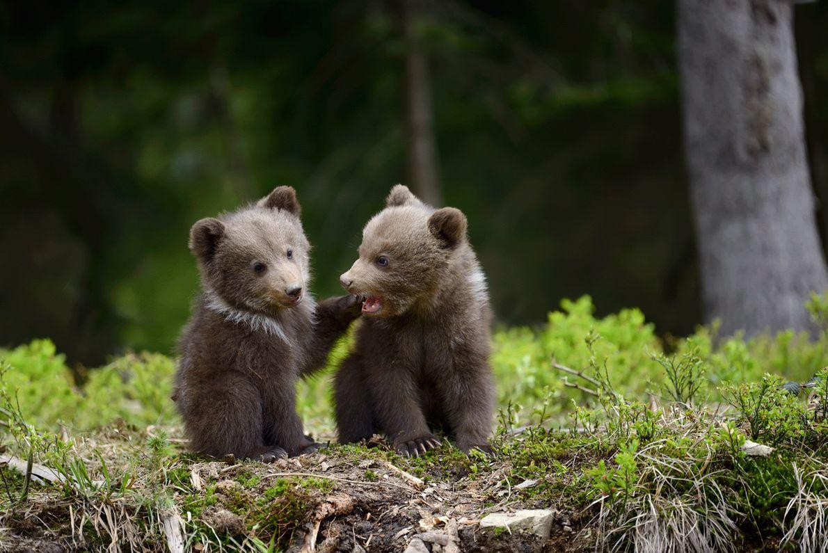 Fotografia de duas crias de urso pardo, irmãos, na Ucrânia