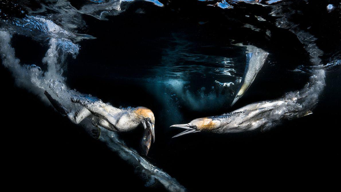 Fotografias de pássaros marinhos a mergulhar por cavalas