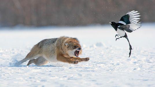 Fotografia de um chacal a perseguir um pássaro na neve