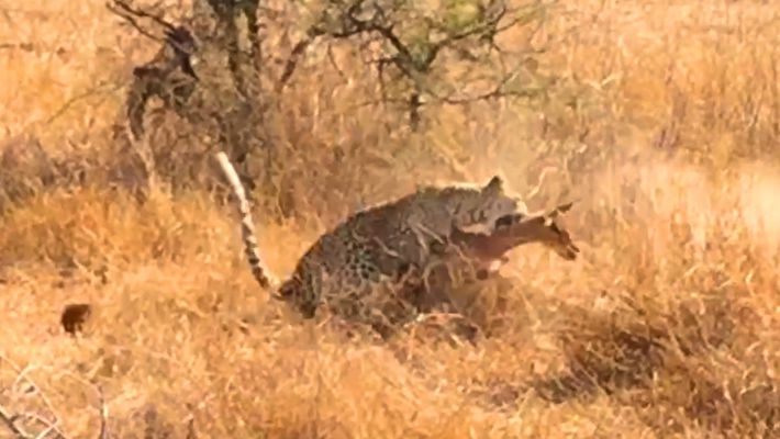 Consegue Descobrir o Leopardo Escondido Antes Que Ele Ataque?